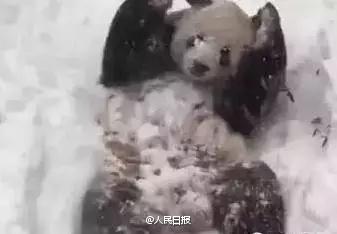 @人民日报:【四川熊猫初见哈尔滨大雪 竟激动地满地打滚】25日晚,哈尔滨的亚布力迎来一场大雪,一个晚上,降雪厚度四五厘米,乐坏了来自四川的大熊猫佑佑。撒欢、刨洞、翻跟头、爬凉亭,厉害了滚滚!你说,你也曾是个安静的南方仔啊!