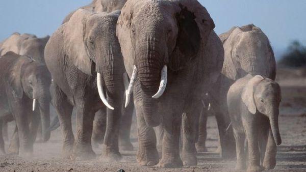 近些年来,因为偷猎举动疯狂,非洲大象的数目大幅降落。(图像来历:全球天然基金会)