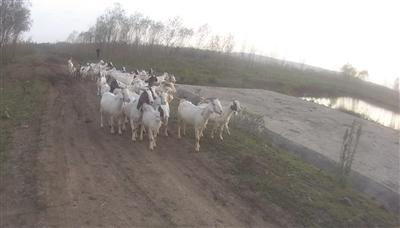 经过让羊羔喝奶认亲找回的52只山羊。