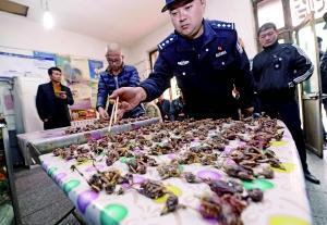 在大兴一饭馆内,执法人员查获140多只麻雀。首席摄影记者 蔡代征/摄