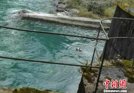 大熊猫落水。(手机拍照) 钟欣 摄