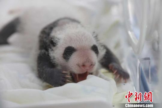 """继迎来首只熊猫宝宝""""花生""""以后,国家大熊猫爱护研讨中心上海基地的另外一只大熊猫""""优优""""又顺遂产下""""龙凤双胞胎宝宝""""。图为抚育箱中的""""妹妹""""。 倪丽 摄"""