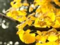 银杏黄了 满城尽带黄金甲
