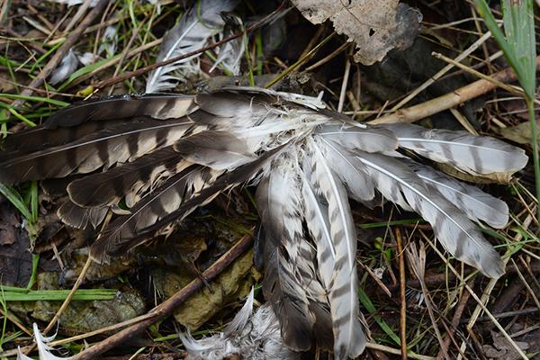 地上散落着一把被捕鸟者拔下的鸟类羽毛。