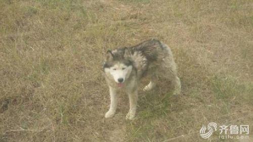 """据动物园的饲养员说,这个""""哈士奇""""是狼跟哈士奇交配的产物。那这到底是狼还是狗呢?饲养员说需要专家鉴定。"""