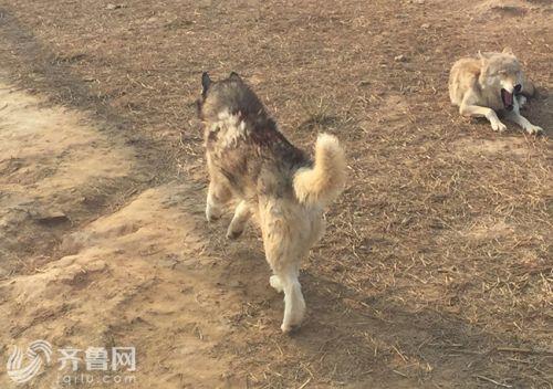 山东一动物园狼舍现哈士奇 园方:在狼群中有地位