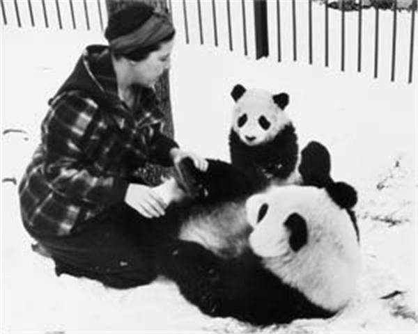 这两只熊猫成了动物园的摇钱树,每天有超过4万人前去参观。