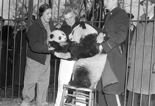活着可以当摇钱树,死了可以剥皮做标本赚钱,越来越多的外国人盯上了大熊猫。