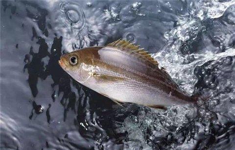 """虽然有说法称,这是""""换季的颜色"""",但这是来自超市人员的声音;相比国家食药监的说法,多少有些站不住脚。况且,有市场需求没有人不愿意赚钱,在现有的养殖技术和交通运输条件下,无论一年四季,想买活鱼而不得的情况,很反常。"""
