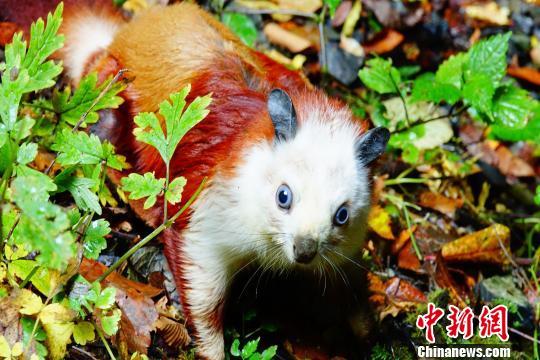 """图为""""天坑群""""内发现的飞猫。陕西省国土资源厅供图"""
