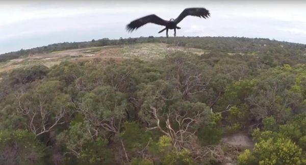 视频截图:无人机视角下的澳大利亚楔尾鹰。