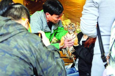上海野生动物园工作人员将幼虎交到游客手中合影/晨报记者张佳琪