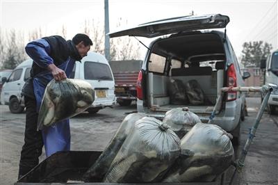 11月26日,北京新发地批发市场,鱼贩们把刚批发来的活鱼运进面包车。 新京报记者 彭子洋 摄