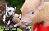 宠物猪的可爱姿态萌死人