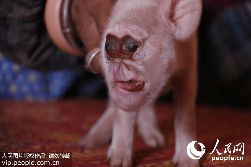 """母猪居然生下""""猴崽"""" 猪身猴脸长相独特"""