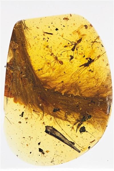 人类首次在琥珀发现恐reina写真龙化石 或被包裹时刚死亡