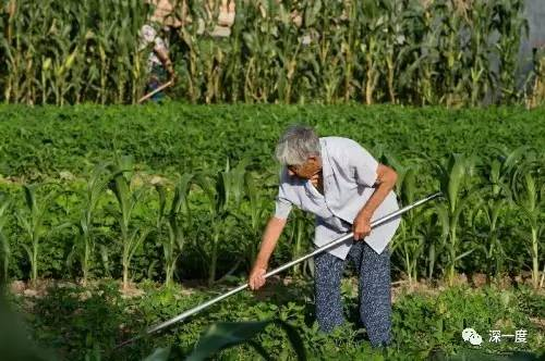 在如东县田间劳作的老人随处可见