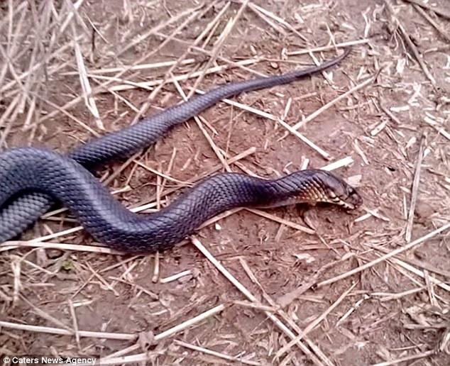 心机大蛇遇人类竟装死 动物界欠你一个奥斯卡!