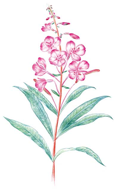 二战标志植物:柳兰