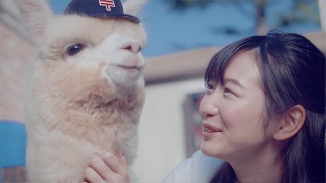 """草泥马的英文是alpaca,日文发音接近""""笨蛋"""",日本邮政借着草泥马的笨拙形象,用来宣传邮差认真送信的样子。"""