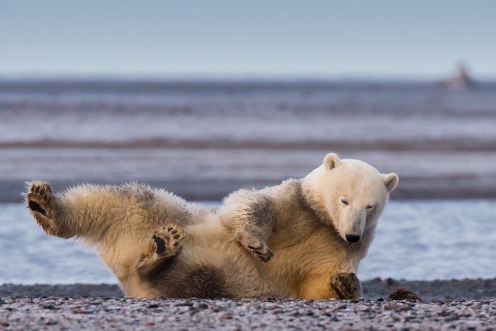 当地人告诉摄影师,今年冬天异常温暖,雪要迟到了。看着这些躺在砂砾和泥土上面色忧郁的北极熊,Waymire脑袋里灵光一闪,这些照片也许更能说明一切。