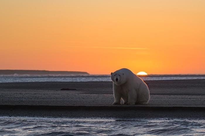 正常情况下,北极海面每年秋季结冰,来年春季融冰,然而,据《赫芬顿邮报》报道,今年发布的一份卫星数据研究显示,在1979到2014年间,从春季融冰到秋季重新开始结冰的时间间隔从三周延长至九周,海冰的减少意味着北极熊能在冰面上捕食的时间变短了。