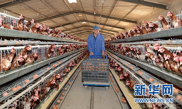 农户在河北省南皮县兴源养殖合作社鸡棚内工作。该合作社通过入股分红的模式帮助南皮县王三家村57户贫困户实现稳定脱贫(2016年3月17日摄)。 新华社记者 牟宇 摄