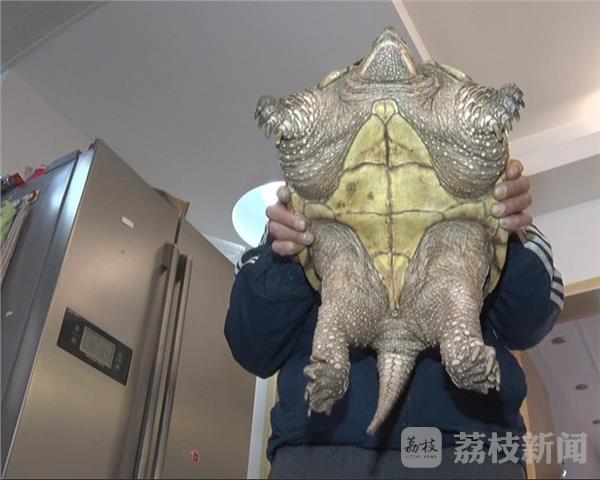 据荔枝新闻1月3日报导,陈徒弟其时在河滨打鱼,忽然他看到一只巨大的乌龟爬到岸边,便上去用网一下将它扣住。