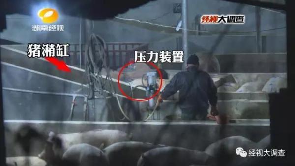 石楼县新闻网:无良商贩给生猪灌食泥浆 一头猪竟可增重20斤