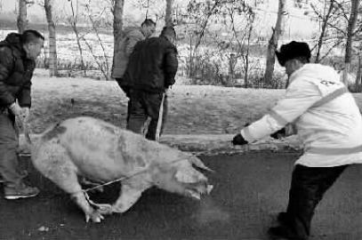 快速交警帮助抓猪