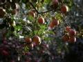 苹果园里的诱惑