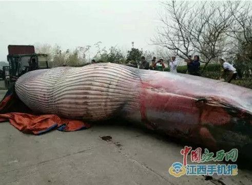 """1月5日中国江西网接到新余网友的爆料,""""我们公司疯了,拉了头鲸过来,据说这家伙有八吨重!"""""""