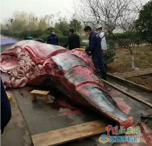 曝江西某公司买8吨重大鲸鱼喂狗 宰杀现场血腥