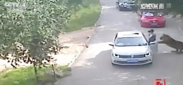 2016年7月23日,北京八达岭野生动物园一段1分27秒的监控视频在各类媒体上被频繁播放,亿万人目睹了下车的女子被老虎叼走的一幕。 视觉中国 资料图