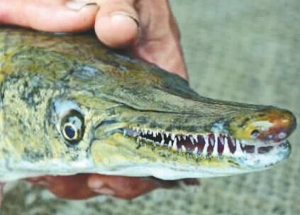 """1月5日,吉安市青原区居民老汪捕获一条""""怪鱼"""",这条鱼的嘴巴酷似鳄鱼嘴,长满了锋利的牙齿,身体被硬鳞覆盖,像是蛇皮。经当地渔政部门鉴定,这是淡水鱼""""顶级杀手""""——雀鳝。"""