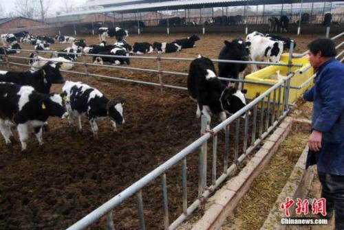 图为奶牛养殖厂。 中新社发 翟羽佳 摄
