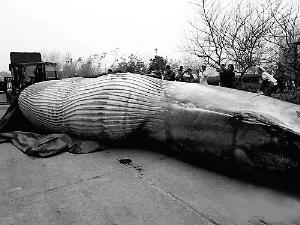 7吨重的鲸鱼被肢解喂狗?