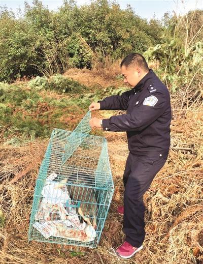 被抓的猪獾原地放生。
