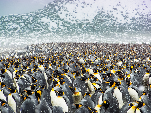 2017年1月11日讯,南乔治亚岛和南桑德韦奇岛,尽管气温降至零下,超过25万只帝企鹅聚集在海滩上,有些可以很方便的下水捉鱼,喂养宝宝。退休的工程师Ofer Agiv游览南极洲时拍下了这些震撼的场面。