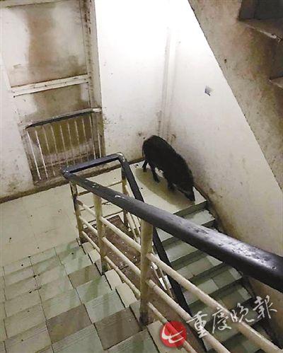 野猪闯进了楼道