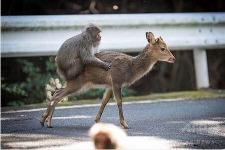 【环球网报道 记者 马丽】据日本媒体报道,日本屋久岛一只公弥猴试图骑上母鹿背上进行交配,这异种交配行为被法国动物学家观察拍摄到,这是科学家第二次在自然界观察到异种交配案例,相关论文刊登在十日出版的《灵长类》(Primates)期刊。