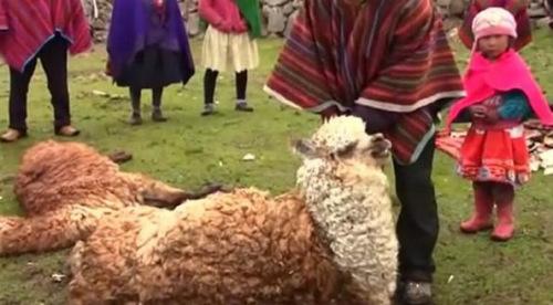 阿亚库乔的牧农赛坦说,18万仅仅成年羊驼的殒命数字,另有许多有身的母羊驼因安康太差而流产,这类潜伏丧失无法计算。