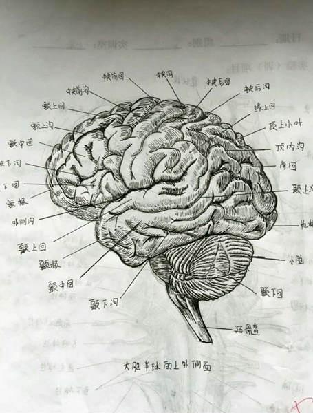 女大学生手绘人体解剖图太逼真 网友:印的吧