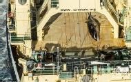 日南极捕鲸 发现被拍忙遮掩