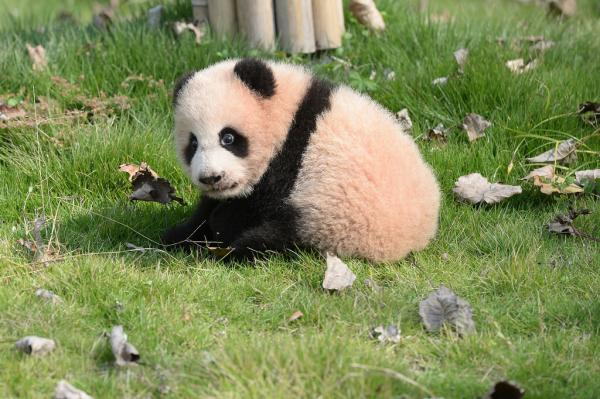"""上海野生动物园大熊猫母子""""帼帼""""""""花生""""死亡"""