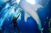 深浅700多次 与鲸鲨共舞
