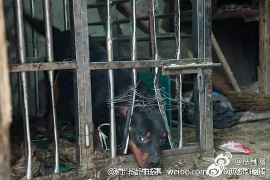 杭州一少女看狗不幸翻开牢笼 反被咬伤缝120多针