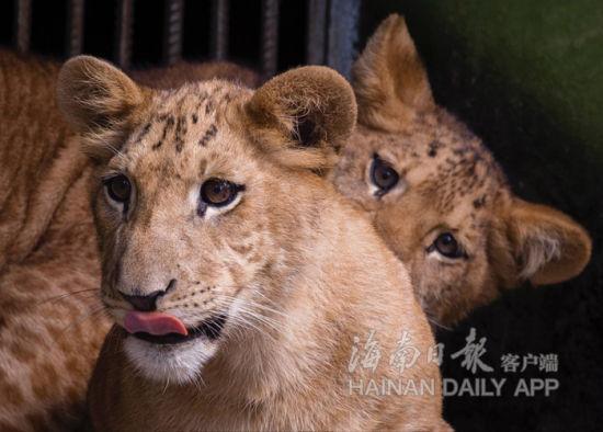 海南胜利繁育两只狮虎狮兽。海南日报记者宋国强摄