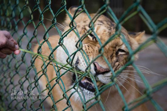 1月20日上午,两只生动可爱的狮虎狮兽在海南热带家养动动物园与市民旅客碰头。海南日报记者宋国强摄