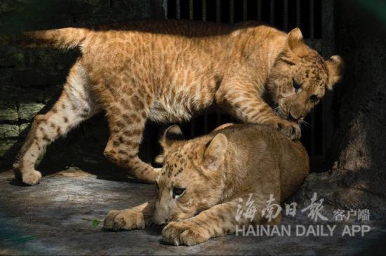 海南热带家养动动物园前后有11只狮虎兽和6只虎狮兽繁衍胜利,成为了国际上繁衍狮虎兽至多的植物园。海南日报记者宋国强摄